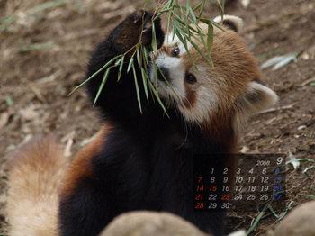 Panda0809_as