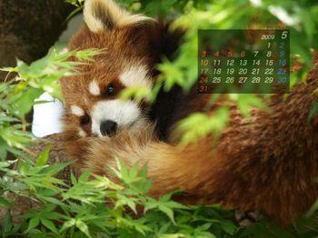 Panda0905_ha