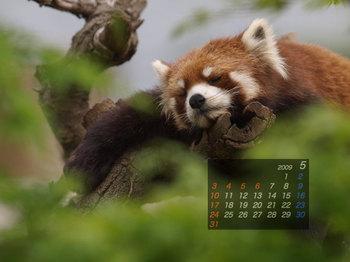 Panda0905_ri
