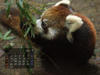 Panda0908_ma