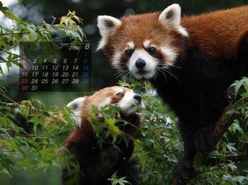 Panda0908_rn