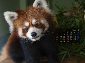 Panda0909_co