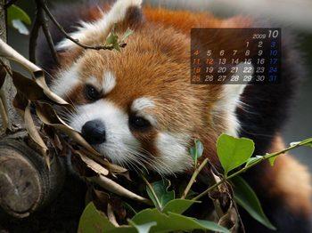 Panda0910_mi