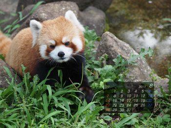 Panda1108_aq