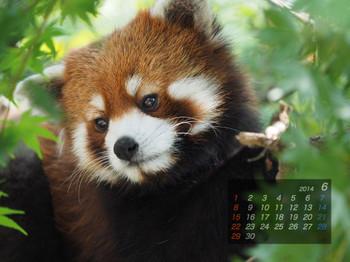 Panda1406_mt