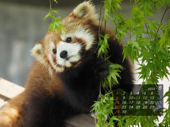 Panda1406_rf