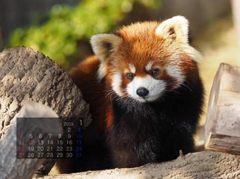 Panda1501_mk