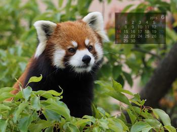 Panda1506_mi