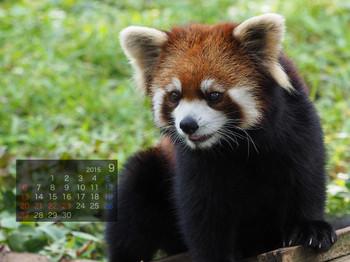 Panda1509_yf