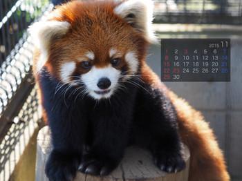 Panda1511_mt
