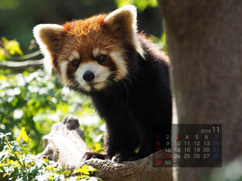 Panda1511_yf