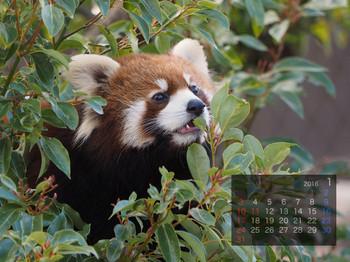 Panda1601_tr