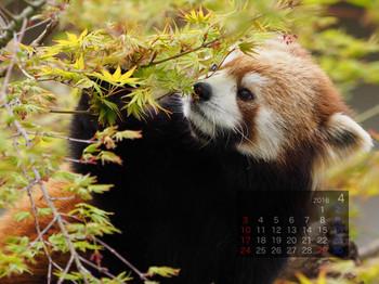 Panda1604_rf