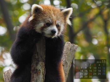Panda1611_yi