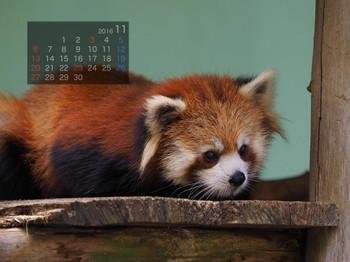 Panda1611_yu