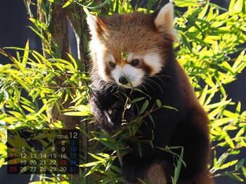 Panda1612_rf