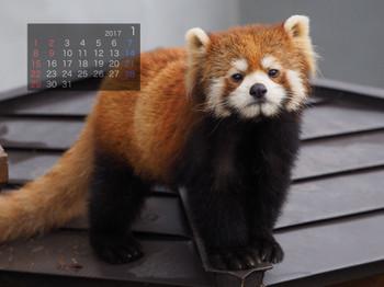 Panda1701mottii