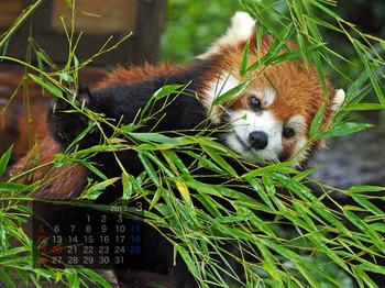 Panda1703riifa