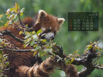 Panda1706tiara