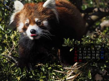 Panda1804genta