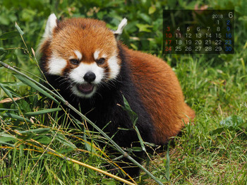 Panda1806minfa