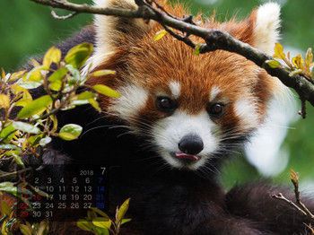 Panda1807tiara