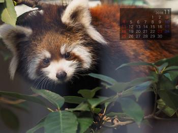 Panda1811a