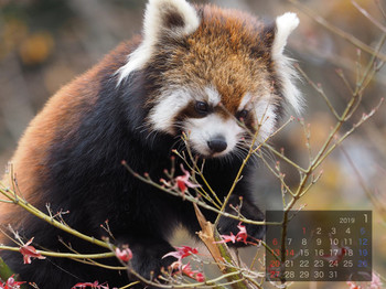 Panda1901cocoa
