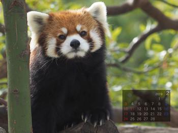 Panda1902minfa