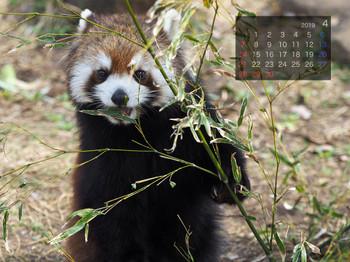 Panda1904cocoa