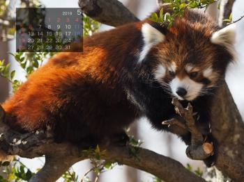 Panda1905genta