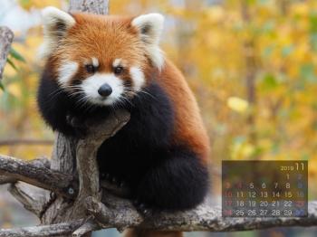 Panda1911marumi