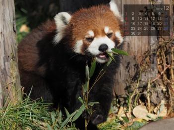Panda1912chaamin