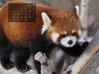 Panda2004marumi