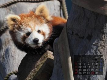 Panda2104rinrin